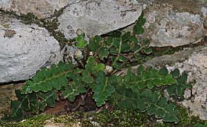 Asplenium ceterach