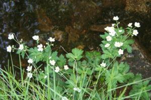 Ranunculus aconitifolius L-2017-05-27-Lac des Pises-30-MG (11) p1