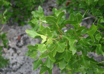 Acer monspessulanum L