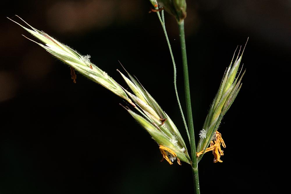 Bromopsis erecta 02