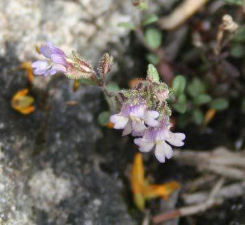 Chaenorrhinum origanifolium 1