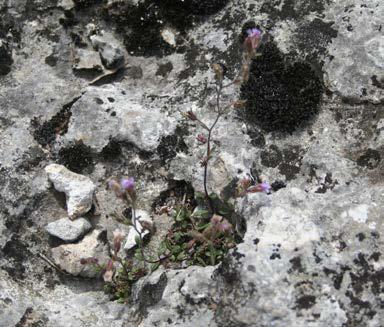 Chaenorrhinum origanifolium 2