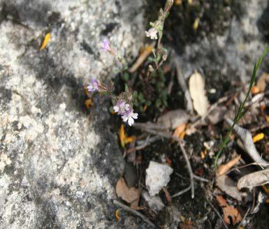 Chaenorrhinum origanifolium 3