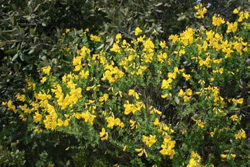 Cytissophyllum sessillifolium