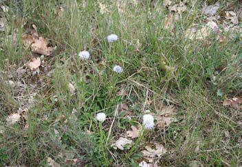 Globularia vulgaris L
