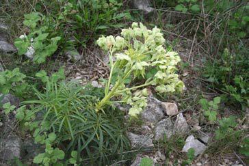 Helleborus foetidus L