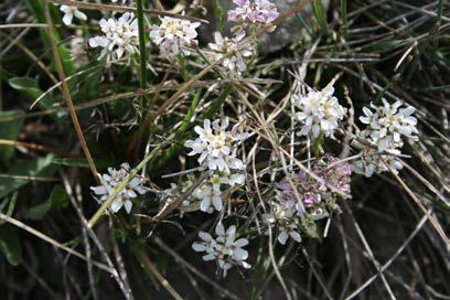 Iberis saxatilis L. subsp saxatilis