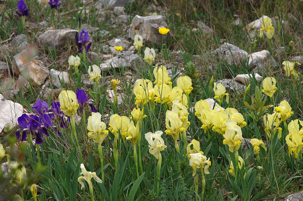 Iris lutescens 01