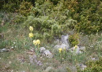 Iris lutescens