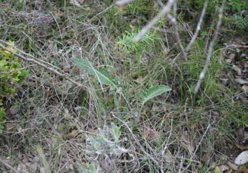 Leuzea conifera