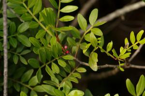 Pistacia lentiscus 01