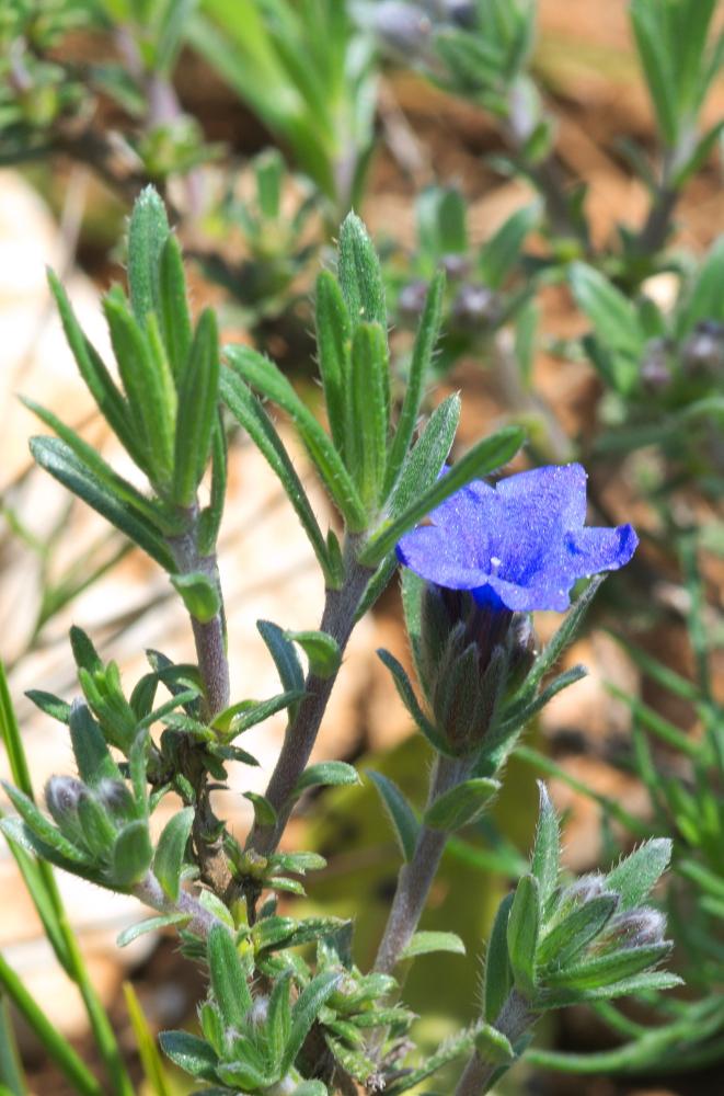 Lithodora fruticosa 02