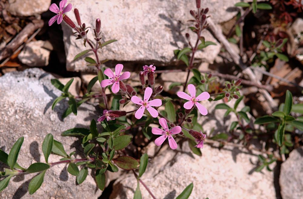 Saponaria ocymoides 02