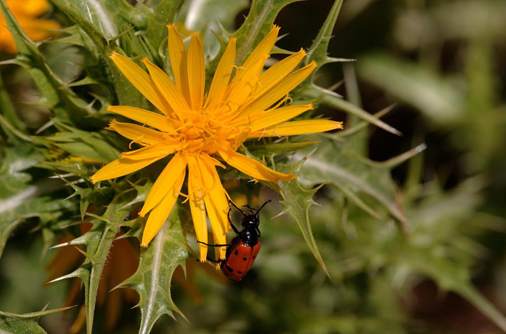 Scolymus hispanicus 01